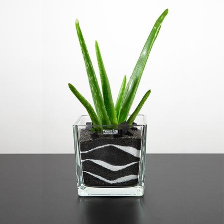 Plante sable Aloe Vera