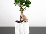 Bonzaï - Ficus Ginseng